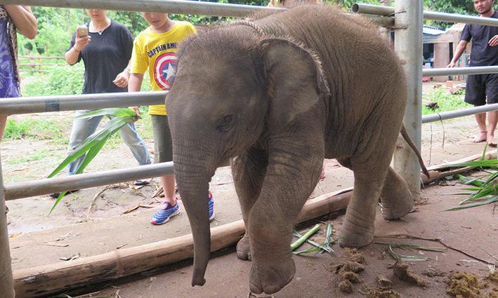 El pequeño de la casa, la cría de Woody Elephant Training