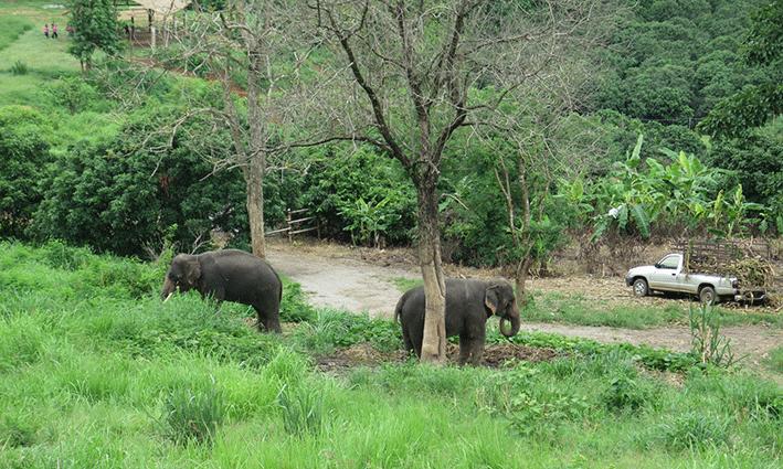 Los elefantes en semi libertad